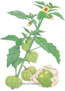 Tomatillo Toma Verde HEIRLOOM Seeds