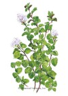 Oregano True Greek HEIRLOOM Seeds