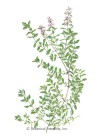 Thyme English HEIRLOOM Seeds