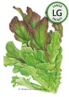 Lettuce Leaf Salad Bowl Blend HEIRLOOM Seeds (LG)