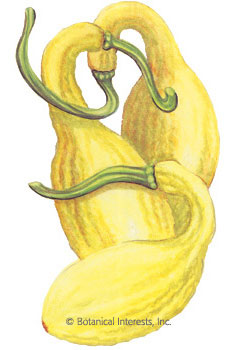 Squash Summer Early Yellow Crookneck HEIRLOOM Seeds