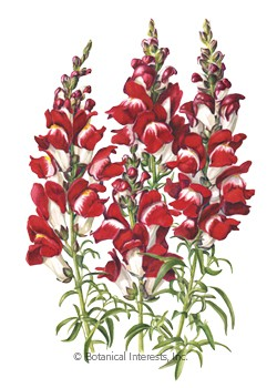 Snapdragon Night and Day Seeds