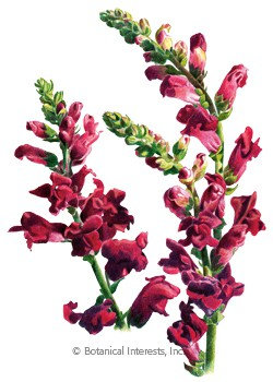 Snapdragon Black Prince HEIRLOOM Seeds