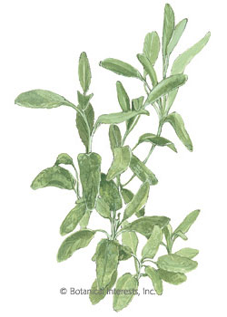 Sage Garden Broadleaf HEIRLOOM Seeds