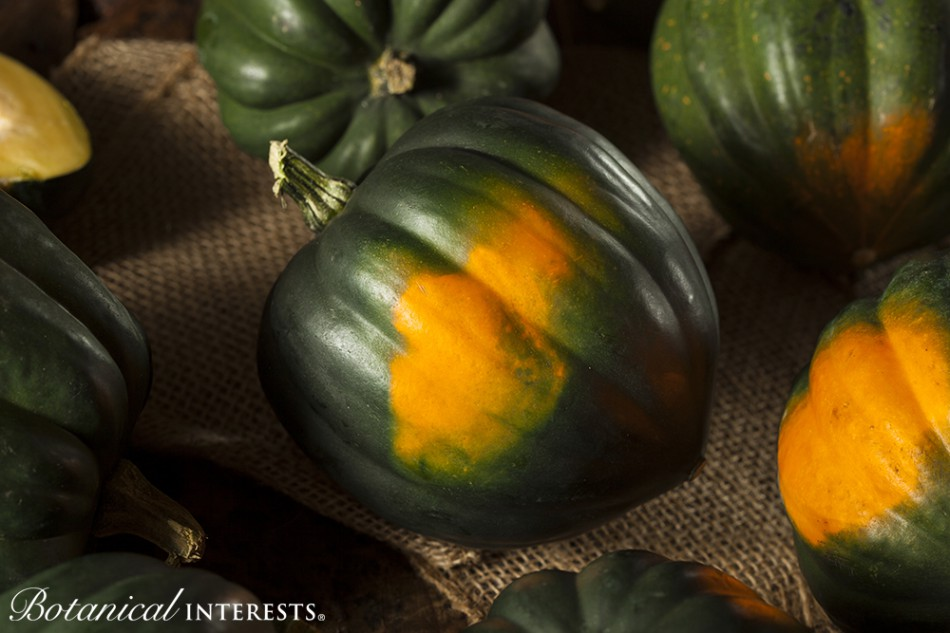 Squash: Harvesting and Storing Winter Squash